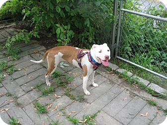 Pit Bull Terrier Mix Dog for adption in North Middletown, New Jersey - Chrissy **CROSSPOST**
