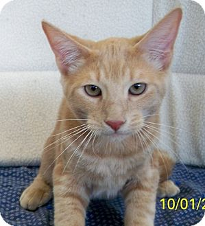 Domestic Shorthair Cat for adoption in Sacramento, California - Cougar W