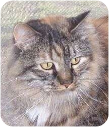Maine Coon Cat for Sale in Andover, Kansas - Little Bit