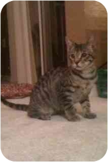 Domestic Shorthair Cat for adoption in Boca Raton, Florida - Stardust