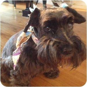 Schnauzer (Miniature) Dog for Sale in Redondo Beach, California - Chrissy