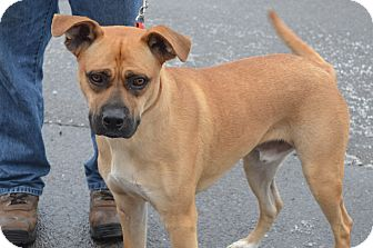 Boxer Mix Dog for Sale in New cumberland, West Virginia - Jack