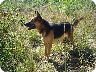 German Shepherd Dog/Shepherd (Unknown Type) Mix Dog for Sale in Redmond, Washington - Opera
