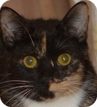 Calico Cat for Sale in Albany, New York - Sammi