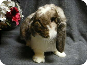Mini Lop Mix for adoption in Newport, Delaware - Bennett
