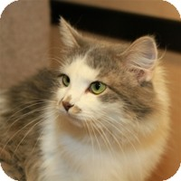 Domestic Mediumhair Cat for Sale in Albany, New York - Lila
