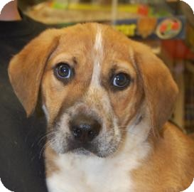 Shepherd (Unknown Type)/Beagle Mix Puppy for Sale in Brooklyn, New York - Kody