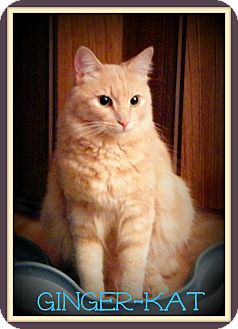 Domestic Mediumhair Cat for adoption in Orange, California - Ginger Kat