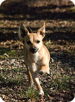 Chihuahua/Terrier (Unknown Type, Small) Mix Dog for Sale in Greensboro, Georgia - lyndon- adopted!