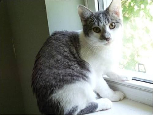 Domestic Shorthair Cat for adoption in New City, New York - Boomer