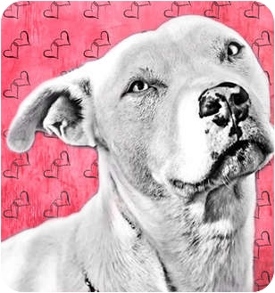 American Pit Bull Terrier Mix Puppy for adption in Phoenix, Arizona - Shine