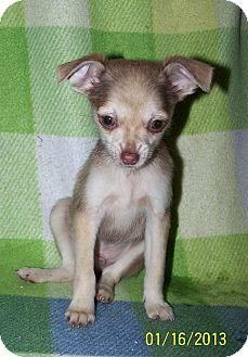 Pomeranian/Chihuahua Mix Puppy for Sale in Sussex, New Jersey - Weasel