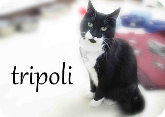 Domestic Mediumhair Cat for Sale in Hamilton, Montana - Tripoloi