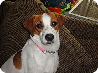 Beagle Mix Dog for Sale in Manchester, Connecticut - Nora in CT