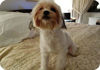 Maltese/Shih Tzu Mix Dog for Sale in New York, New York - Cody