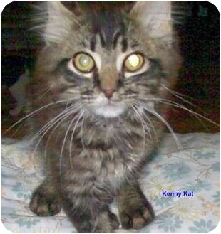 Maine Coon Cat for Sale in McMinnville, Tennessee - Kenny Kat