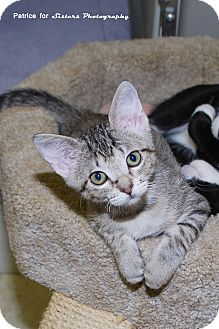 Domestic Shorthair Kitten for Sale in Lincoln, Nebraska - Sahara