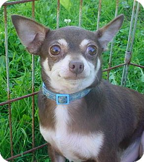 Chihuahua Dog for Sale in Brookville, Indiana - Whale
