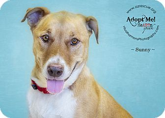 Labrador Retriever Mix Dog for adption in Phoenix, Arizona - Sunny