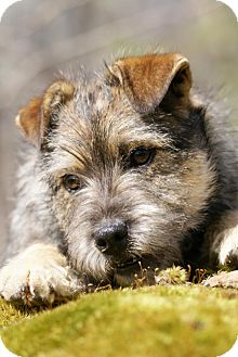 Terrier (Unknown Type, Small) Mix Puppy for Sale in London, Kentucky - Ophelia