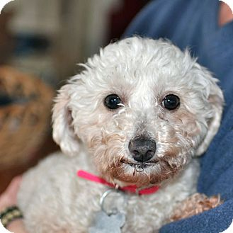 Poodle (Miniature) Dog for Sale in Howell, Michigan - Nellie