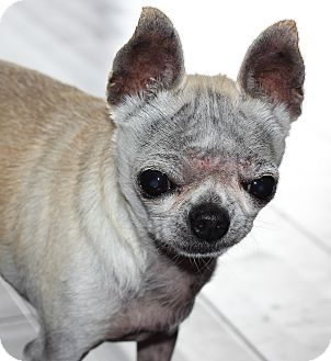 Chihuahua Dog for adption in San Pedro, California - Nicholas