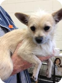 Chihuahua Mix Dog for Sale in Tucson, Arizona - Rango