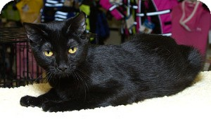 Domestic Shorthair Cat for adoption in Sacramento, California - Samantha L