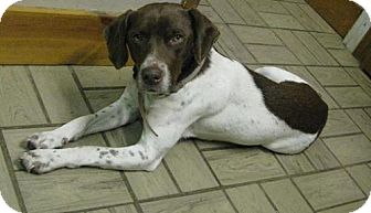 Beagle/Pointer Mix Dog for Sale in Lisbon, Ohio - Ianna