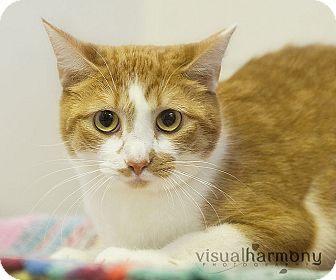 Domestic Shorthair Cat for adoption in Gilbert, Arizona - Marni