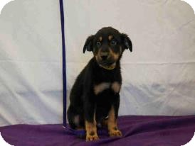 Rottweiler Mix Puppy for Sale in Oldsmar, Florida - Igor