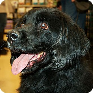 Spaniel (Unknown Type) Mix Dog for Sale in Richmond, Virginia - Mitzy