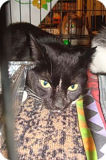 Domestic Shorthair Cat for adoption in Brooklyn, New York - Blackie