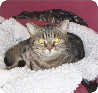 American Shorthair Cat for adoption in Crescent City, California - FANCY CAT