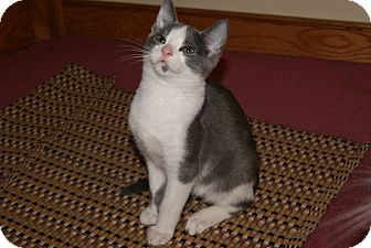 Domestic Shorthair Kitten for Sale in Bensalem, Pennsylvania - Freckle