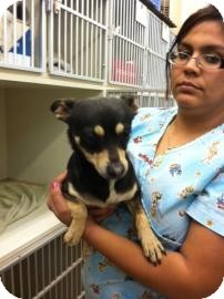Chihuahua Mix Dog for adption in Tucson, Arizona - Mikito