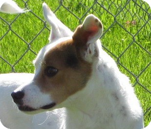 Jack Russell Terrier Dog for adption in Scottsdale, Arizona - LEESA