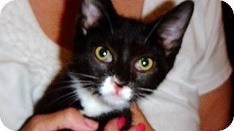 Domestic Shorthair Kitten for adoption in Riverside, Rhode Island - Milly