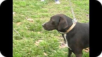 Labrador Retriever Mix Dog for adption in Rayville, Louisiana - Starbaby