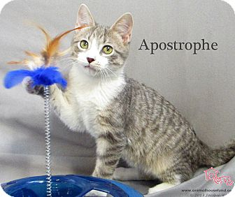 Domestic Shorthair Cat for Sale in St Louis, Missouri - Apostrophe
