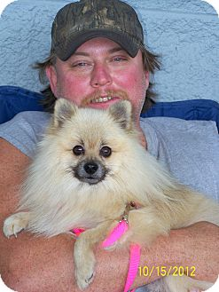 Pomeranian Dog for Sale in Niagra Falls, New York - Ozzy