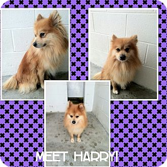 Pomeranian Dog for Sale in bridgeport, Connecticut - Harry