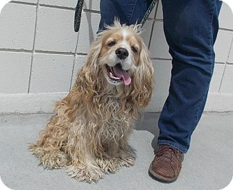 Cocker Spaniel Dog for adption in Spanaway, Washington - ALEX