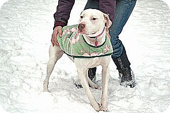 Pit Bull Terrier Mix Dog for adption in North Middletown, New Jersey - Bianca *Crosspost*