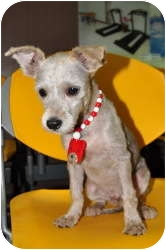 Terrier (Unknown Type, Small) Mix Puppy for Sale in Los Angeles, California - Rocky