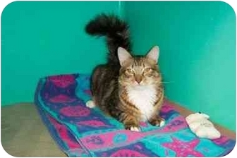 Domestic Mediumhair Kitten for adoption in Secaucus, New Jersey - The Commander