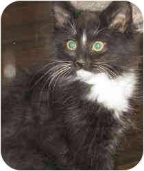 Domestic Longhair Kitten for Sale in Murrysville, Pennsylvania - Gretel