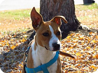 Basenji/Shepherd (Unknown Type) Mix Dog for Sale in Glastonbury, Connecticut - Layla