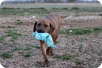 Fila Brasileiro Dog for adption in Christiana, Tennessee - Spice