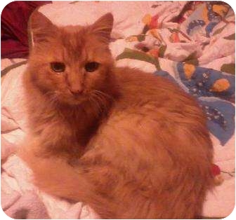 Domestic Mediumhair Cat for adoption in Smyrna, Tennessee - Simba